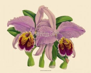 Cattleya Mossiae Decora